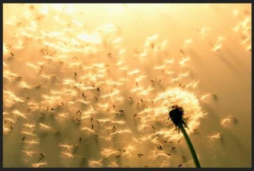 forgiveness-blog-dandelion